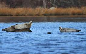 Three large seals perched on two rocks next to a marshy area.